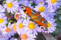 Peacock butterfly foraging on flower. European peacock butterfly (Aglais io) foraging on nectar of an aster flower Stock Photo