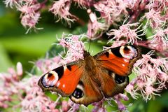 Peacock butterfly on Gravel root stock photo