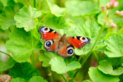 Peacock Butterfly on Green Pelargonium Leaves Royalty Free Stock Images
