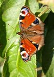Peacock Butterfly (Inachachis io). Peacock butterfly on a green leaf showing open wings with colourful markings Stock Photography