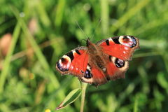 A peacock butterfly.Inachis io . Stock Image