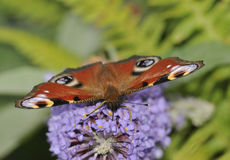 Peacock Butterfly - Inachis io Royalty Free Stock Images