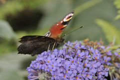 Peacock Butterfly - Inachis io Stock Photography
