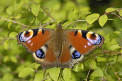 Peacock Butterfly - Inachis io Stock Photo