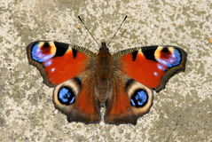 Peacock Butterfly , Inachis io Royalty Free Stock Photos