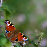 Peacock butterfly (Inachis io). A beautiful colored european peacock seeking nectar among the herbs in Uppland, Sweden royalty free stock photography