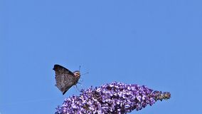 Peacock Butterfly, inachis io, Adult in Flight, Feeding on Buddleja or Summer Lilac, buddleja davidii, Normandy in France, stock video
