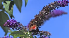 Peacock Butterfly, inachis io, Adult in Flight, Taking off from Buddleja or Summer Lilac, buddleja davidii, Normandy in France stock video