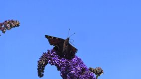 Peacock Butterfly, inachis io, Adult in Flight, Taking off from Buddleja or Summer Lilac, buddleja davidii, Normandy in France stock video footage