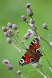 Peacock butterfly (inachis io, Aglais io) Stock Photos