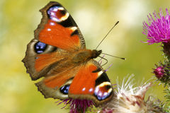 Peacock butterfly Stock Photos