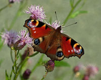 Peacock butterfly, Inachis io on flower Royalty Free Stock Photo