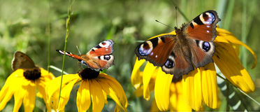 Peacock butterfly -Inachis io on flowers Royalty Free Stock Image