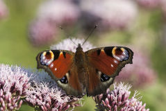 Peacock butterfly, Inachis io. On hemp agrimony Royalty Free Stock Photo