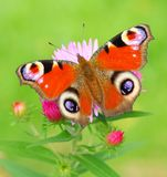 Peacock Butterfly (Inachis Io) On A Bushy Aster (A Stock Photo