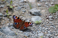 Peacock butterfly (Inachis io) resting on the gravel Royalty Free Stock Photography