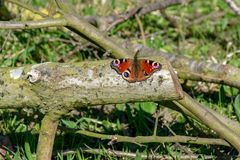 Peacock butterfly (Inachis io) resting on wooden log with out stretched wings in early summer royalty free stock photography