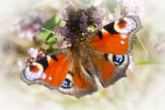 Peacock butterfly Royalty Free Stock Photography