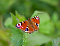 Peacock butterfly on leaf Royalty Free Stock Image