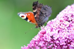 Peacock butterfly on Lilac flower Stock Photo
