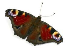 Peacock butterfly macro Stock Photo