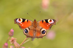 Peacock butterfly. Macro detail of European Peacock Inachis butterfly stock photo