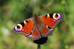 Peacock butterfly on meadow - detail royalty free stock image