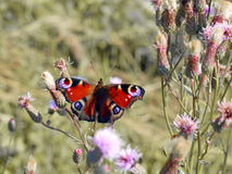 Peacock butterfly in nature Royalty Free Stock Photos