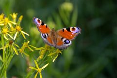 Peacock butterfly in nature Royalty Free Stock Images