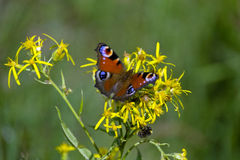 Peacock butterfly in nature Stock Images