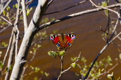Peacock butterfly Nymphalidae Inachis io. Ireland Royalty Free Stock Image