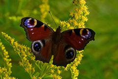 Free Peacock Butterfly Or Inachis Io In Summer On Flower Royalty Free Stock Photography - 155529477