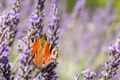 Peacock butterfly spreads its beautiful wings in sunny lavender royalty free stock photo