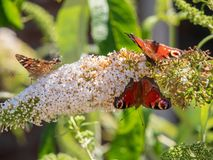Peacock butterfly and painted lady on a butterfly-bush royalty free stock images