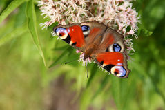Peacock Butterfly Perspective. Peacock Butterfly (Inachis io) on Eupatorium cannabinum plant enjoying nectar Stock Image