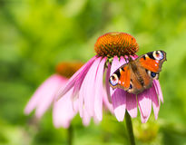 Peacock butterfly on pink echinacea blossom. Peacock butterfly on the blossom of a pink echinacea flower Royalty Free Stock Photography