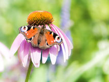 Peacock butterfly on pink echinacea blossom. Peacock butterfly on the blossom of a pink echinacea flower stock image