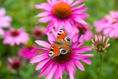 Peacock butterfly on a pink flower Stock Photo