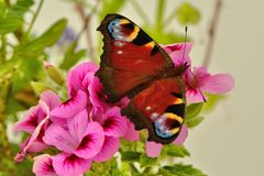 Peacock butterfly on pink geranium flower Stock Photos
