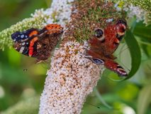 Peacock butterfly and red admiral on a butterfly-bush royalty free stock image