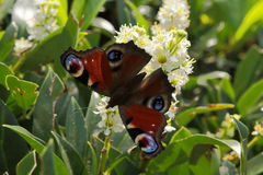 Dagpauwoog. A peacock butterfly resting on a flower Stock Image