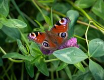 Peacock butterfly resting on red clover