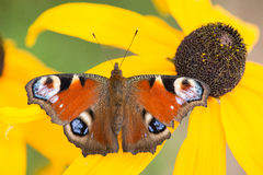 Peacock butterfly resting on a yellow flower Stock Image