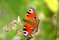 Peacock butterfly. Showing its eye like defensive markings. British species of insect Royalty Free Stock Photo
