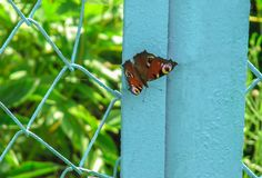 Peacock butterfly sitting on a blue fence royalty free stock photography