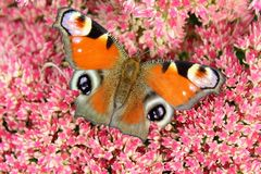Peacock butterfly sitting on a bright red bush of sedum flowers Royalty Free Stock Photos