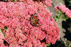 Peacock butterfly sitting on a bright red bush of sedum flowers Stock Photo