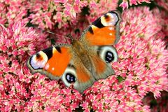 Peacock butterfly sitting on a bright red bush of sedum flowers Royalty Free Stock Photo