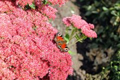 Peacock butterfly sitting on a bright red bush of sedum flowers Royalty Free Stock Image