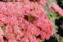 Peacock butterfly sitting on a bright red bush of sedum flowers Stock Image
